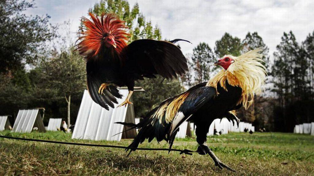 Cari Tahu Track Record Kedua Ayam